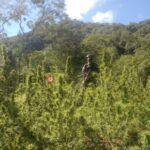 Siguen buscando al dueño de las 240 plantas de marihuana de La Candelaria.